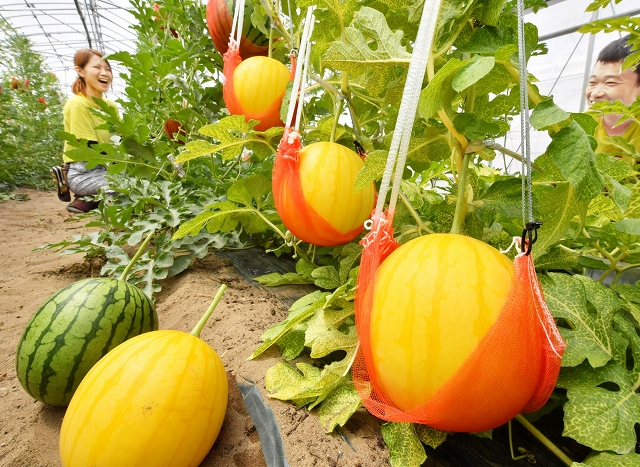 ハウス内で収穫期を迎えた金福すいか=6月8日、福井県福井市白方町