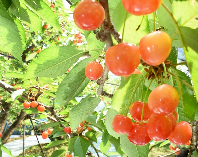 鈴なりに実ったサクランボ=6月7日、福井県越前市中山町の観光農園「どんぐり山」
