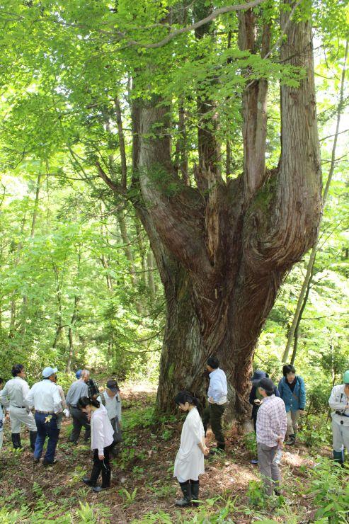 遊歩道の完成を記念し、巨大な天然杉を観察する参加者=阿賀町中ノ沢