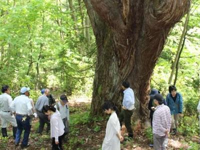 阿賀・中ノ沢渓谷森林公園 巨大杉観察道が完成