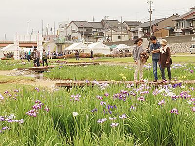 小矢部で花菖蒲祭り始まる 梅雨空に花涼しげ