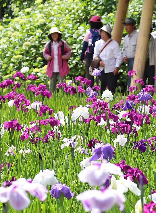 色とりどりの花を咲かせるハナショウブ=行田公園