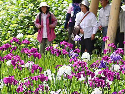 ハナショウブ優美に咲く 滑川・行田公園