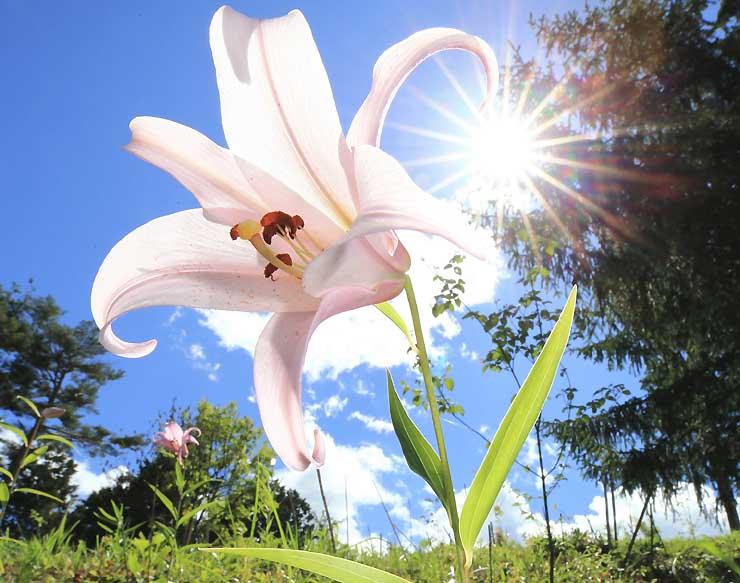 青空の下、日差しを浴びて輝くササユリ