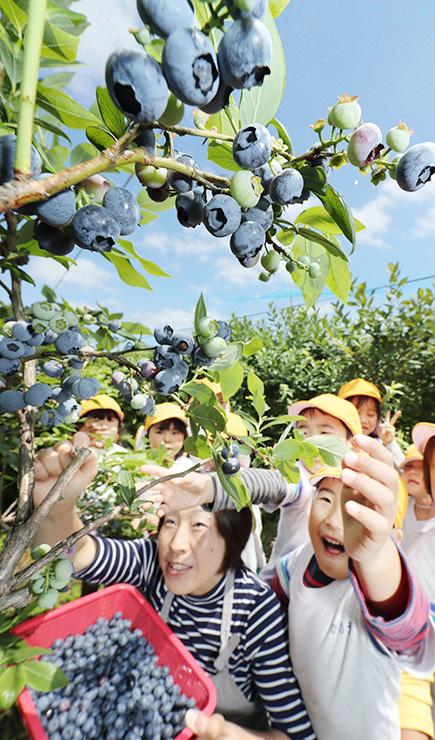 青紫色に実ったブルーベリーを摘み取る山村さん(手前左)と園児たち=富山市月岡町
