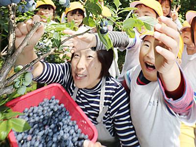 ブルーベリーあまいね 富山で園児ら収穫