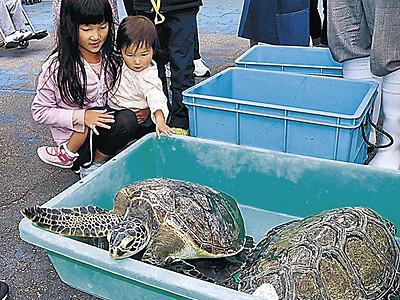 ウミガメと触れ合い のとじま水族館、トンネル水槽では11月まで展示
