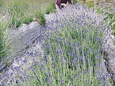 薄紫、ラベンダー見頃 白山・三宮の棚田