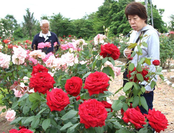 見頃を迎え、訪れた人たちの目を楽しませているバラ園=15日、小千谷市塩殿