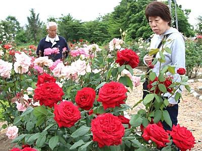 香りに誘われ バラ園が見頃 小千谷の農業体験施設