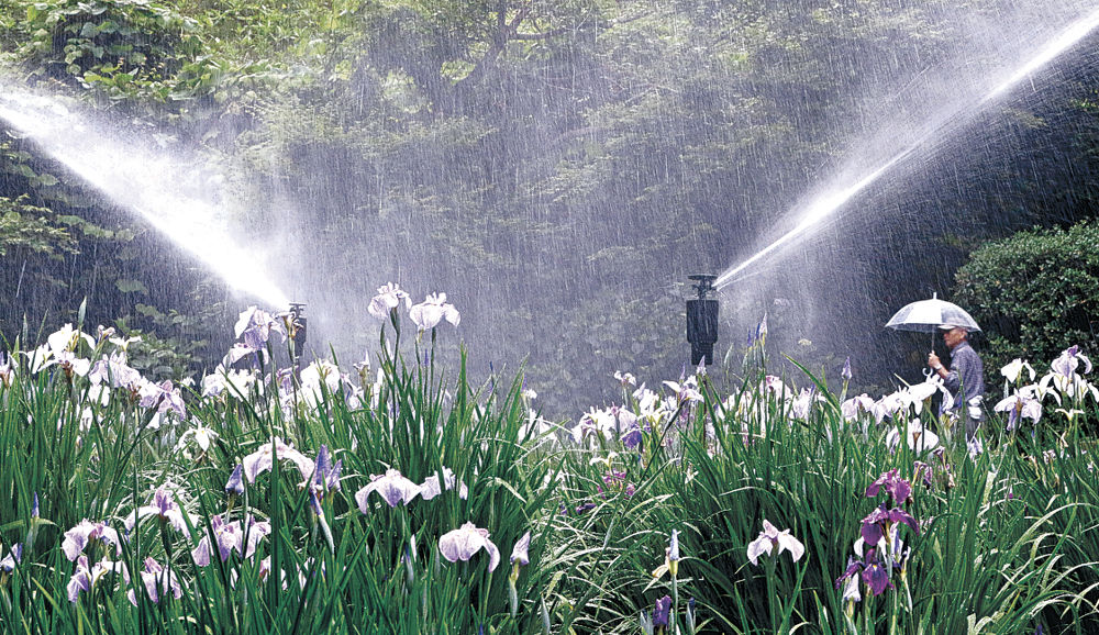 散水にぬれて緑の園地に映えるショウブの花=金沢市の卯辰山花菖蒲園