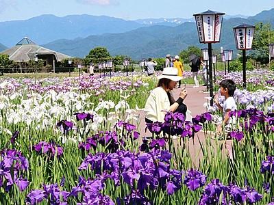 咲き競う花にうっとり 阿賀野で「あやめまつり」