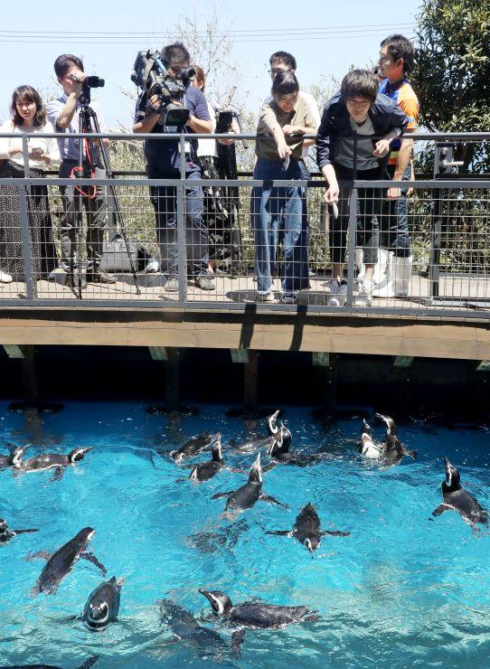 内覧会で公開されたマゼランペンギン=19日、上越市五智2