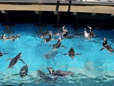 ペンギン、イルカ「会いに来てね」 上越うみがたり内覧会