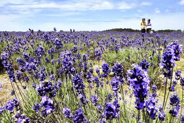 鮮やかな紫色の花が一面に広がるラベンダー畑=6月18日、福井県坂井市三国町加戸