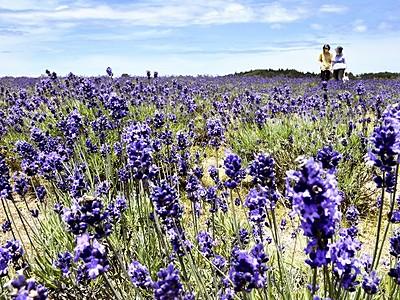 紫のじゅうたん、香り爽やか 三国ラベンダーファーム