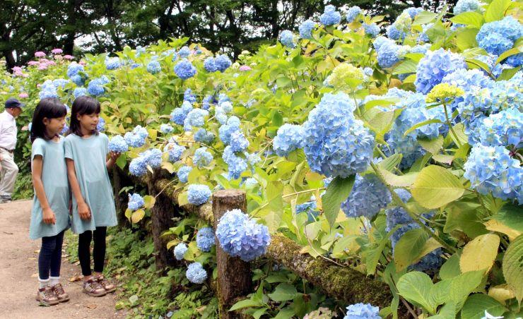 約3万株が咲き誇るあじさい園=23日、田上町