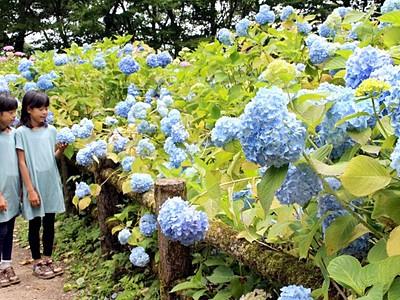 青紫の宝石が山頂で出迎え 護摩堂山あじさいまつり 田上