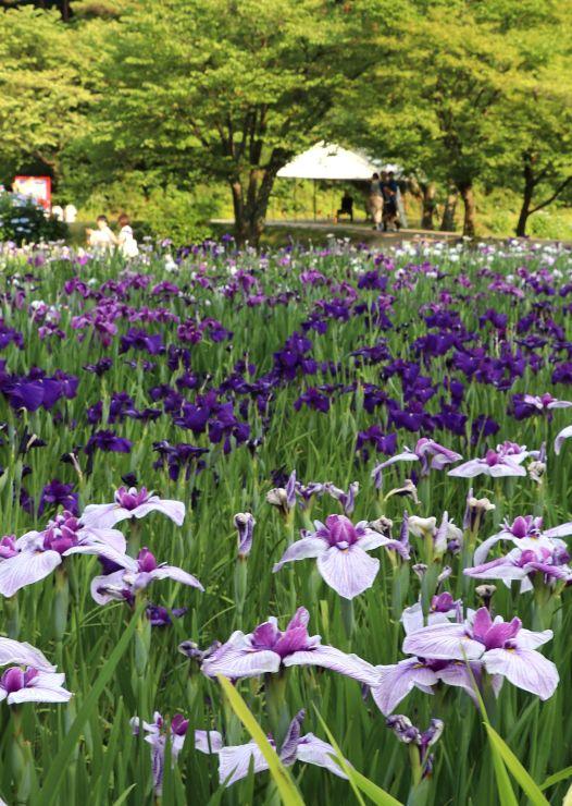 色とりどりのハナショウブなどが見頃を迎えたあやめ園=新発田市五十公野公園