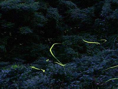 暗闇照らす涼しげな光 岩室でホタル見頃 新潟市西蒲区