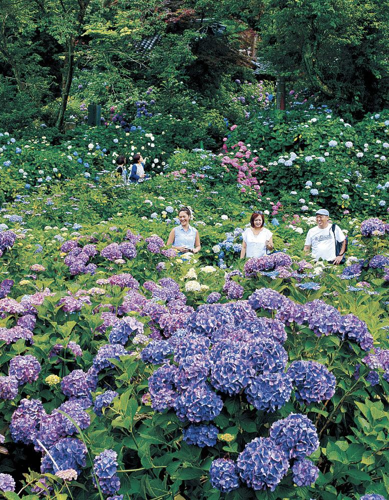 見頃を迎えたアジサイ=金沢市薬師町の本興寺