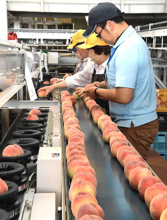 飯田下伊那地方で収穫された桃を選別する作業員