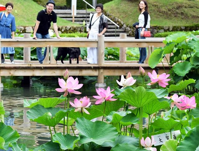 白や淡いピンク色の花が彩る花はす公園で開幕した「はすまつり」=6月30日、福井県南越前町中小屋の花はす公園