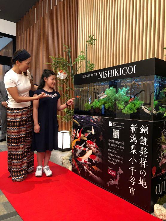 ホテルに設置された小千谷産錦鯉をPRする展示水槽=29日、京都市中京区(小千谷市提供)