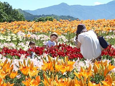 鮮やか咲き競う1万本 魚沼・堀之内ユリまつり
