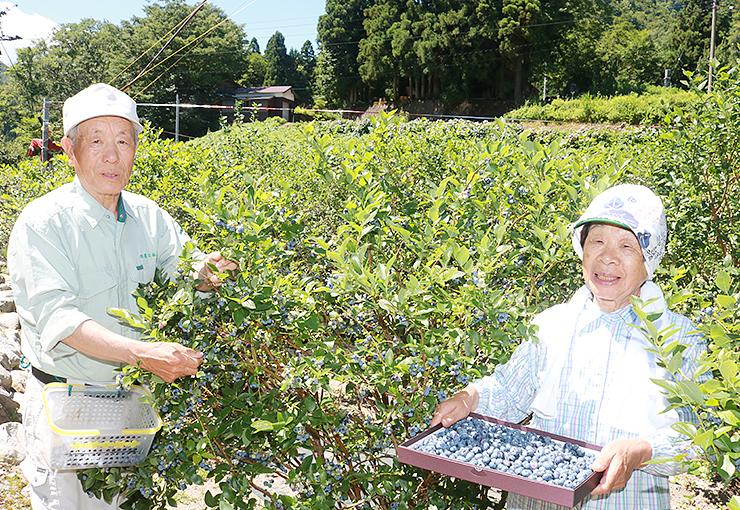 収穫期を迎えたブルーベリー農園で来園を呼び掛ける井上さん夫婦