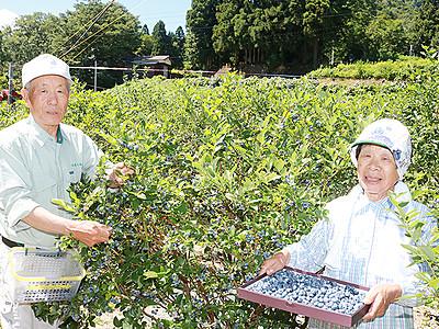 ブルーベリー収穫期 八尾の農園