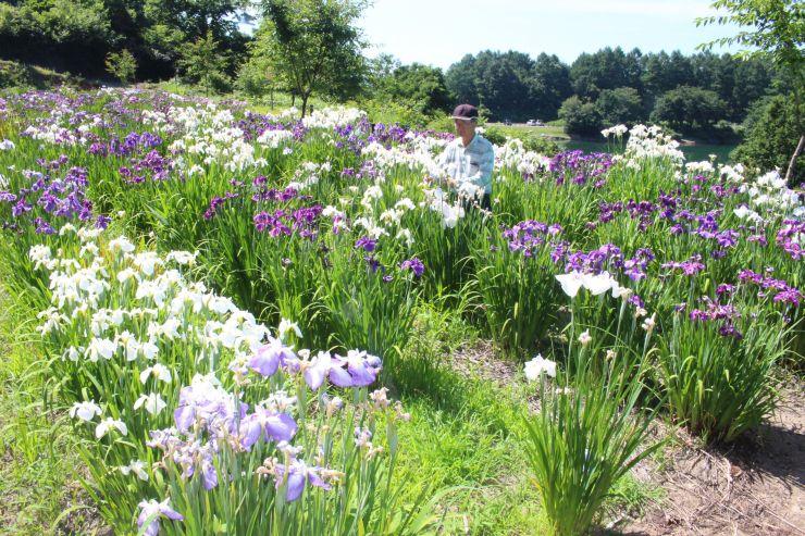 山あいの花畑に咲き誇り、見頃を迎えたハナショウブ=2日、上越市板倉区玄藤寺新田