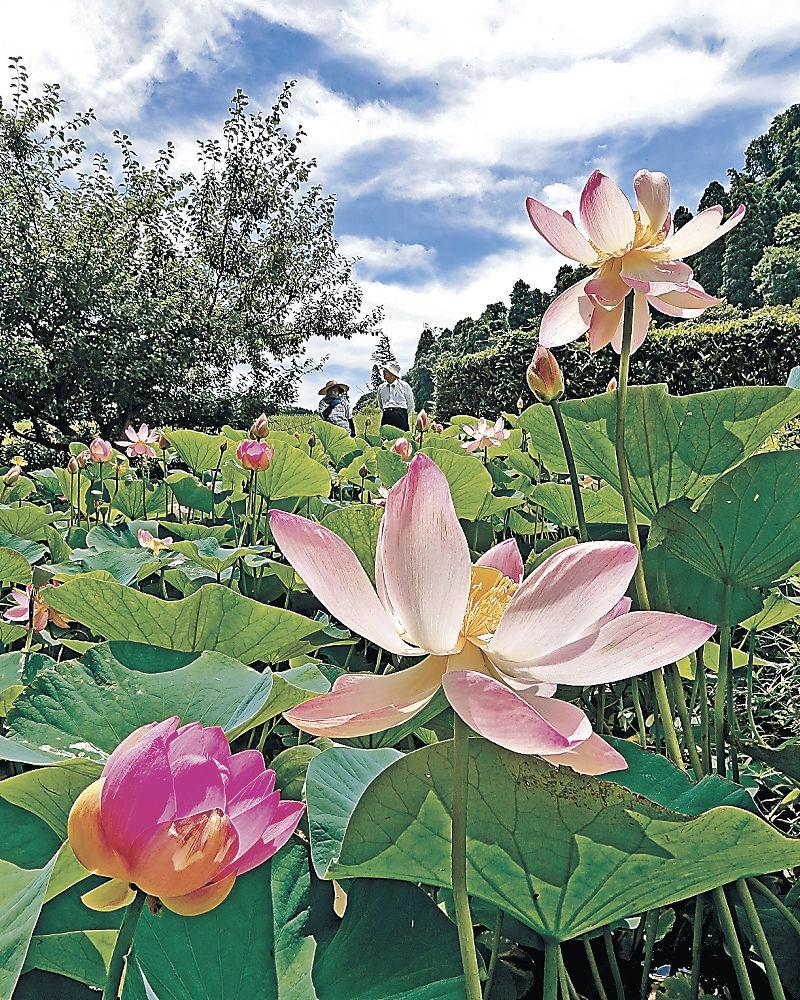 大輪の花を咲かせた「大賀ハス」=津幡町舟橋