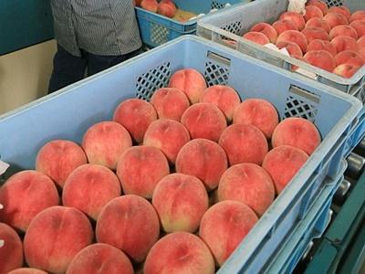 ほんのり甘い香り 桃の出荷スタート 新潟・白根地区