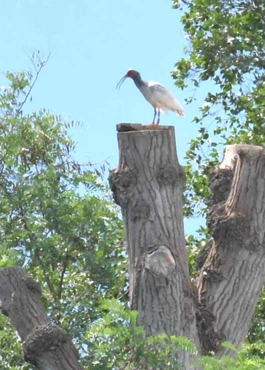 樹上で羽を休めるトキ=9日、安曇野市
