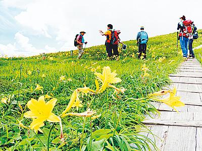 ニッコウキスゲ一面に咲く 八尾・白木峰