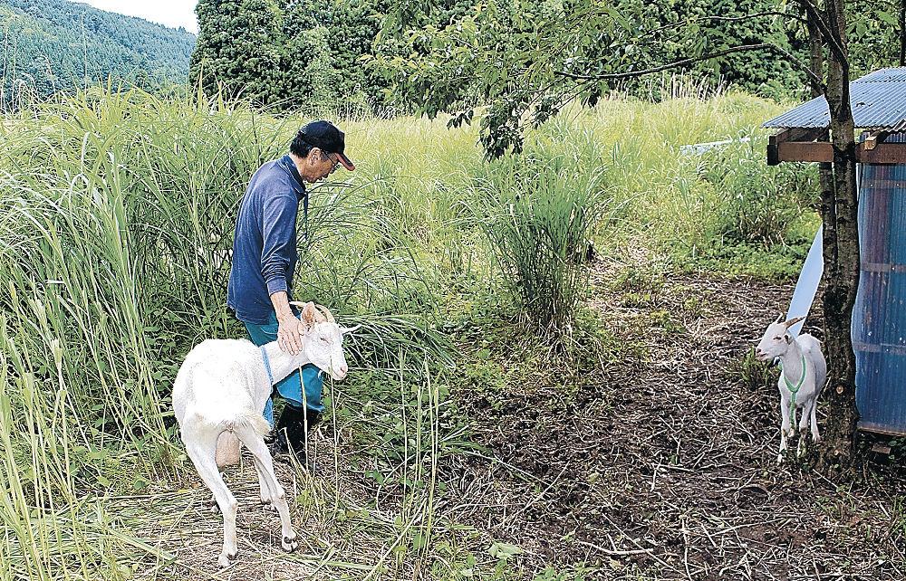 耕作放棄地の除草へ放牧されたヤギ=七尾市中島町北免田