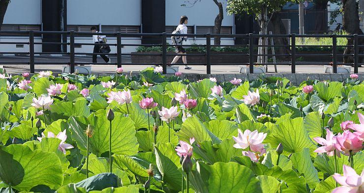 水面を彩るハスの花=10日、上越市の高田公園