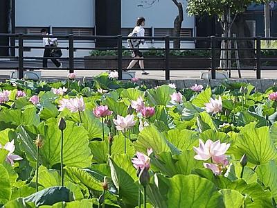 東洋一の夏模様 ハス見頃 上越・高田公園
