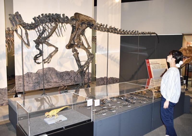 特別展で発掘された英国以外で初公開となるネオベナートルの実物化石と復元された全身骨格=12日、福井県勝山市の県立恐竜博物館