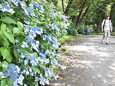 涼やか「あじさい小道」 上田で14・15日祭り