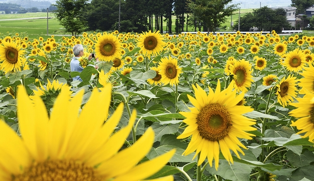 一面を彩るヒマワリ=7月13日、福井県大野市蓑道のスターランドさかだに