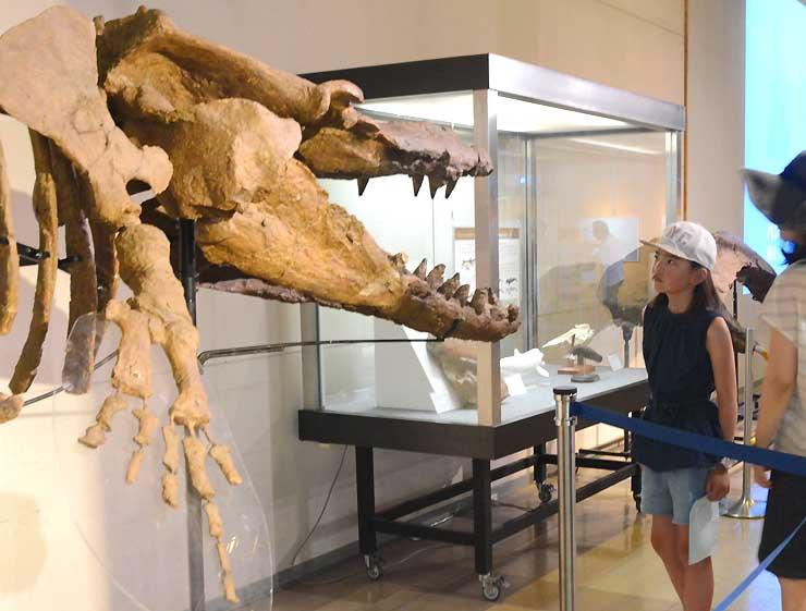 シガマッコウクジラの骨格標本を見る子ども