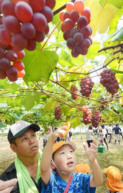 ブドウを摘み取る園児=7月18日、福井県あわら市波松の「あわらベルジェ」