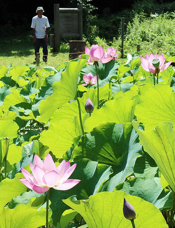 ピンク色の大きな花を咲かせる大賀ハス