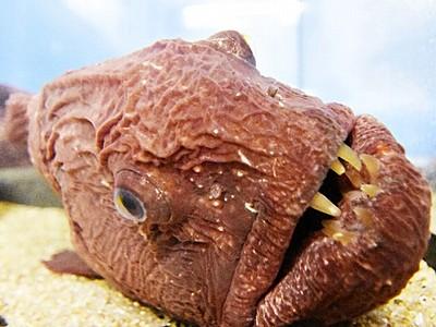 動物そっくりの魚にギョッ 松島水族館で珍魚300匹