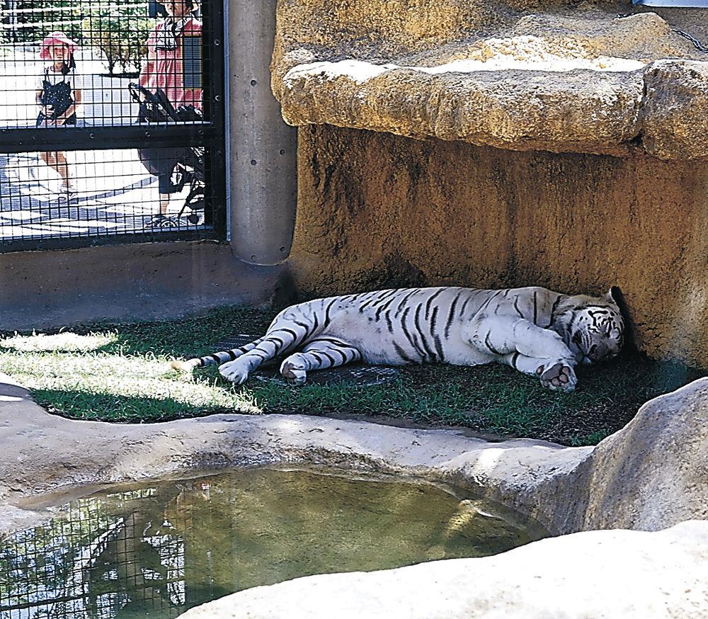 日陰で横になるホワイトタイガー=能美市のいしかわ動物園