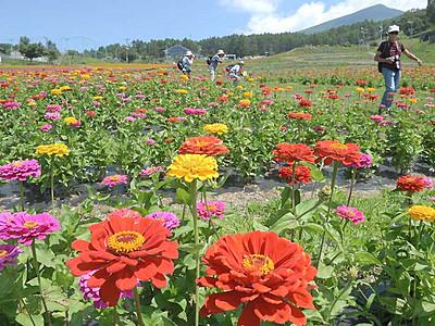 花盛り、100万本のヒャクニチソウ 富士見のゲレンデ