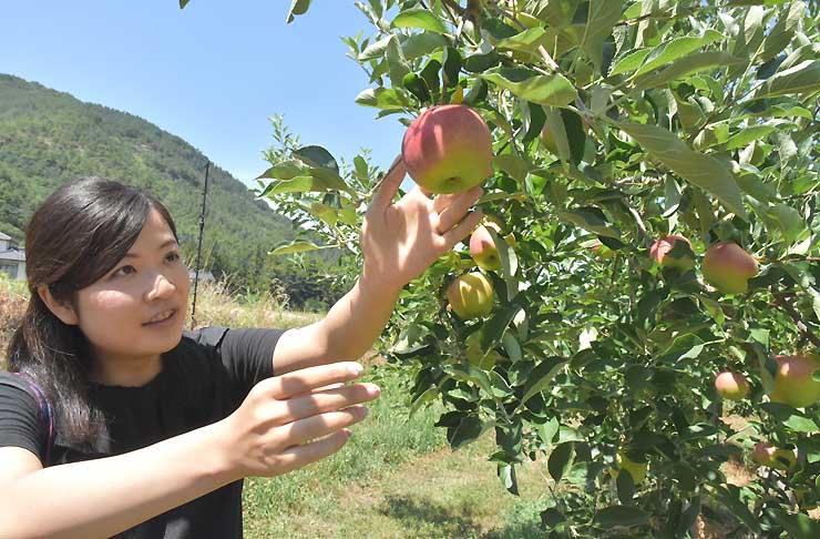 収穫体験をする千曲市の農場でリンゴの生育具合を見る堀内さん