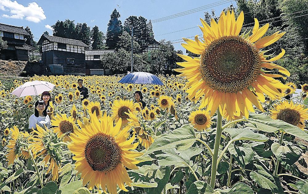 日差しを受けて咲き誇るヒマワリ=金沢市平栗